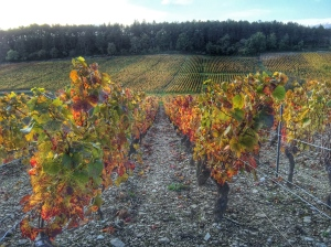 Vines in autumn in Burgundy